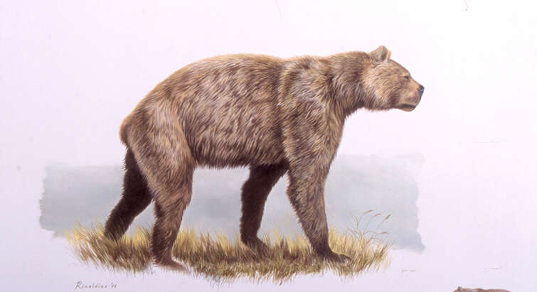 "Can not be used esle where!! Recreation of the now extinct Giant short-faced bear (Arctodus simus). Credit: North American Bear © Government of Yukon / Artist George ""Rinaldino"" Teichmann ( 2002)."