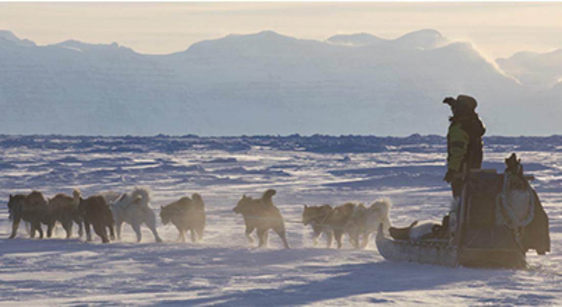 sledge dogs